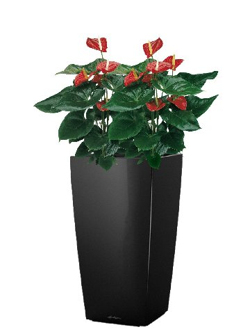 Anthurium alabama - Cubico40